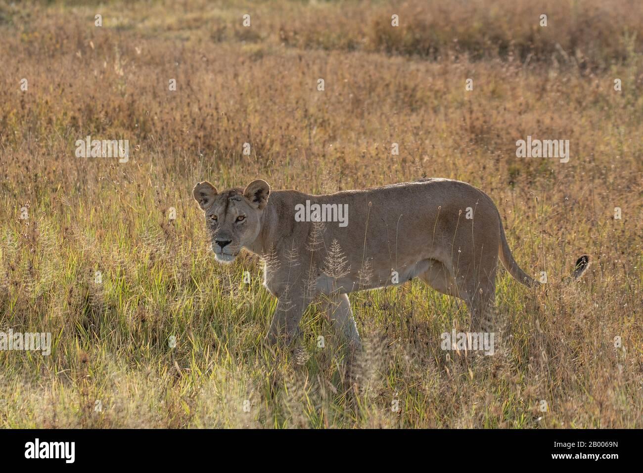 Leona a la luz dorada del Parque Nacional Serengeti Foto de stock