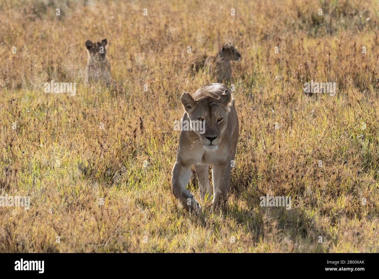 Leona con sus cachorros siguiendo a la luz dorada del Parque Nacional Serengeti Foto de stock
