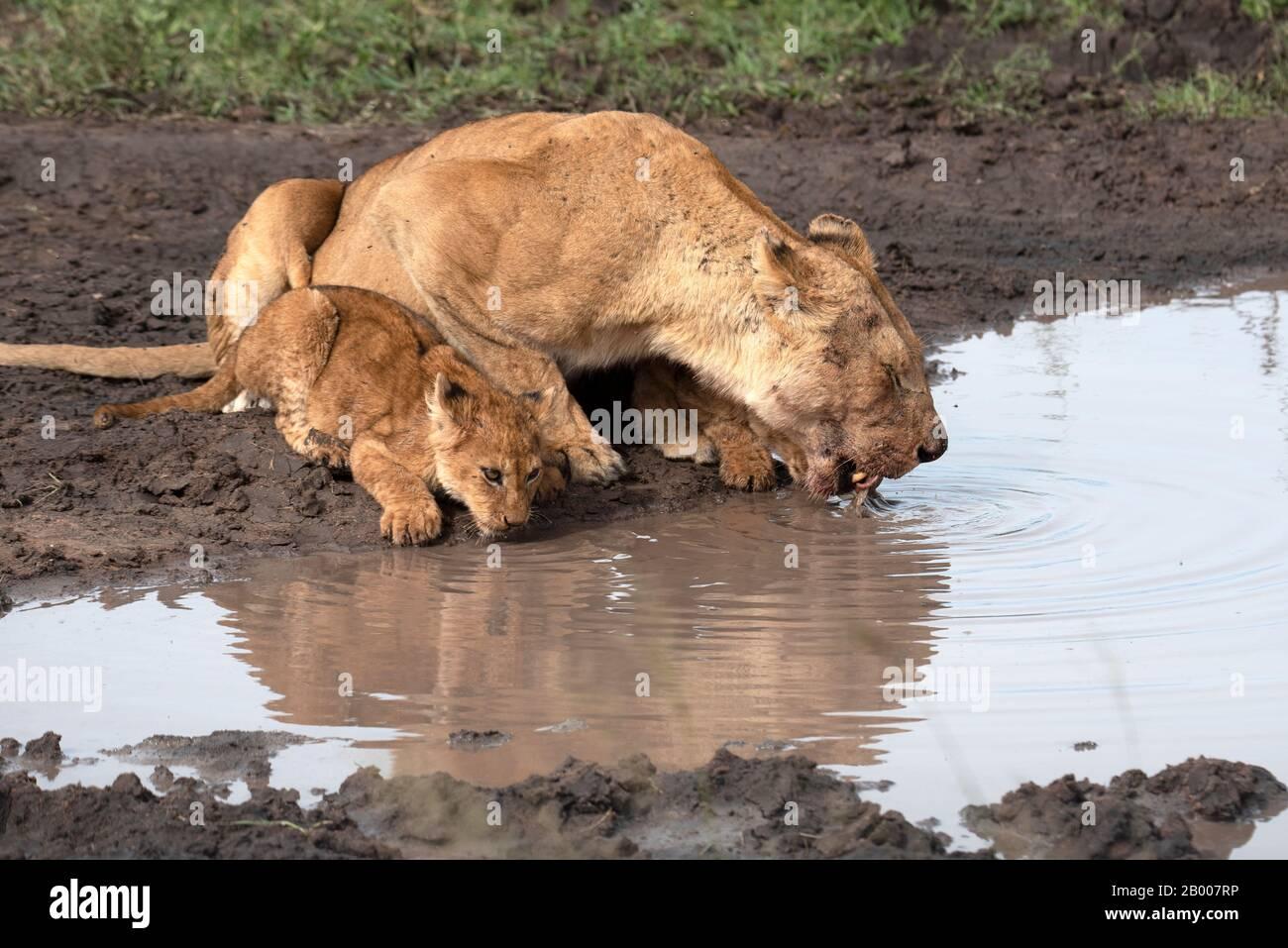 Leona y cachorro del Serengeti tomando una bebida después de una comida Foto de stock