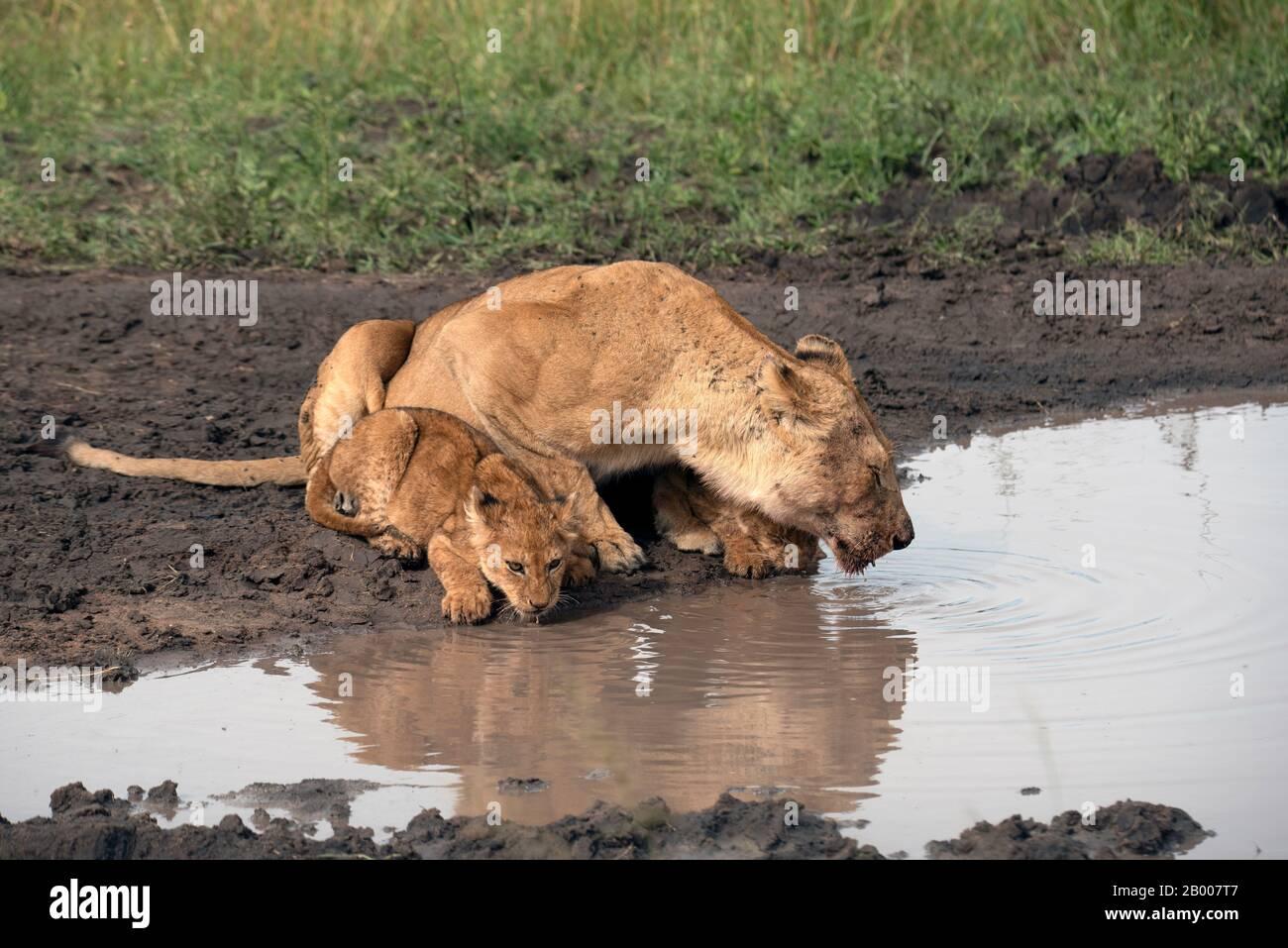 Leones del Serengeti en el agujero de agua Foto de stock