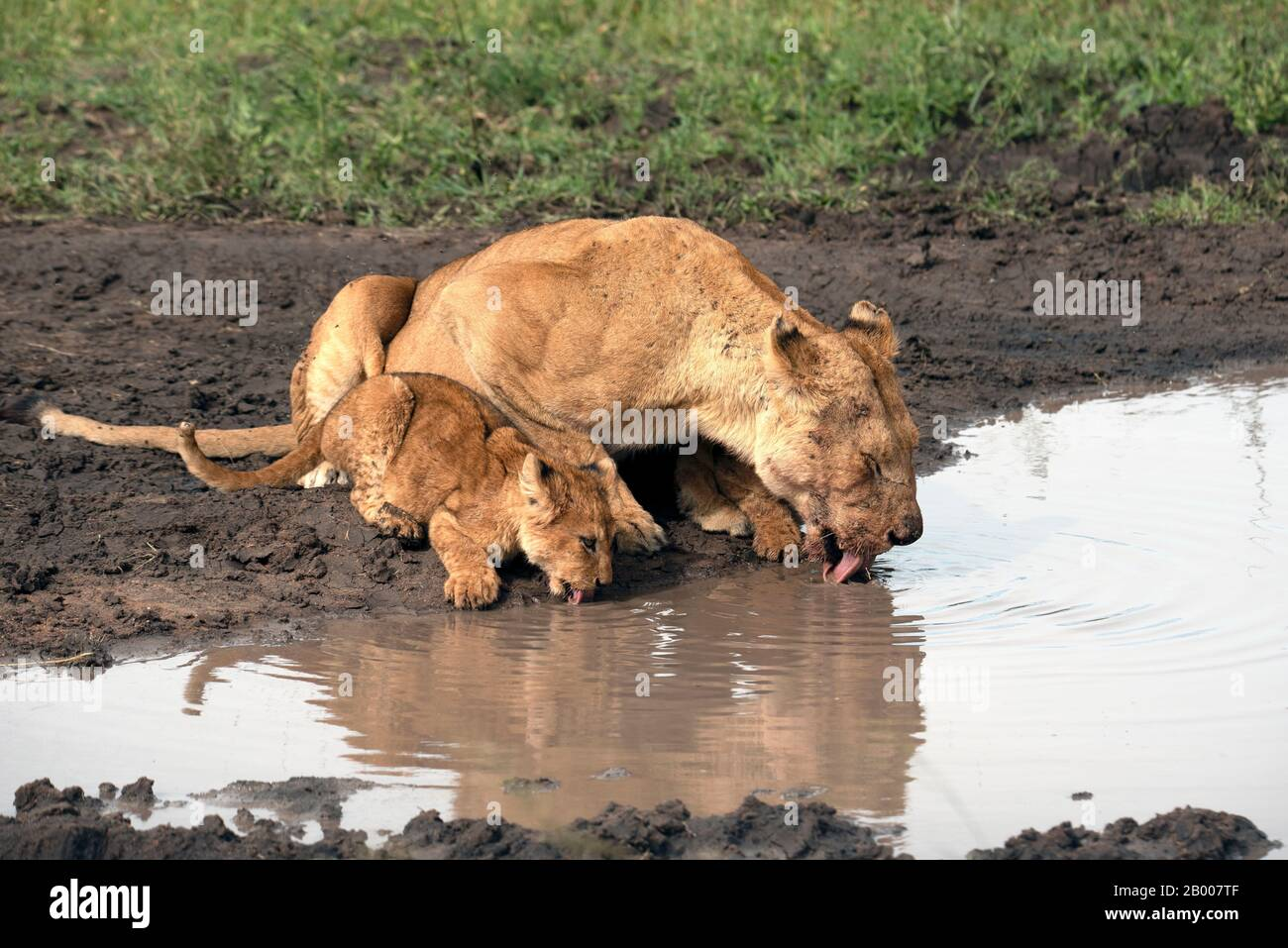 Leona y su cachorro tomando una bebida en el pozo. Foto de stock
