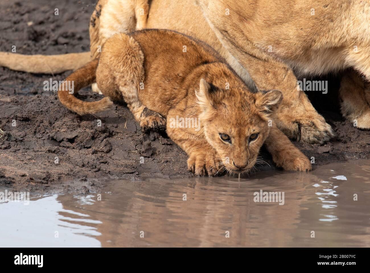 Cachorro de león bebiendo en la boca de agua Foto de stock