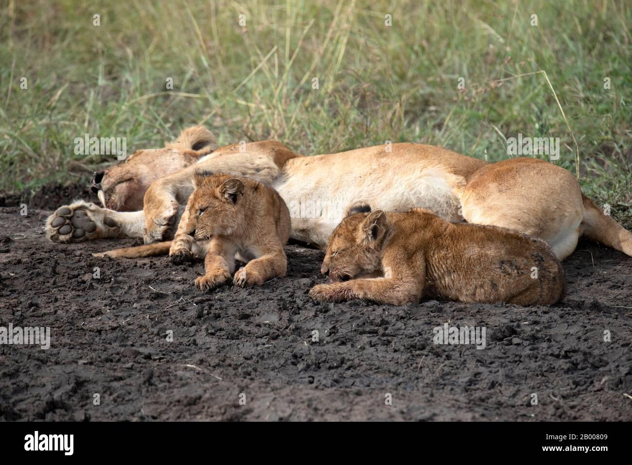 Leona durmiendo con sus dos cachorros Foto de stock