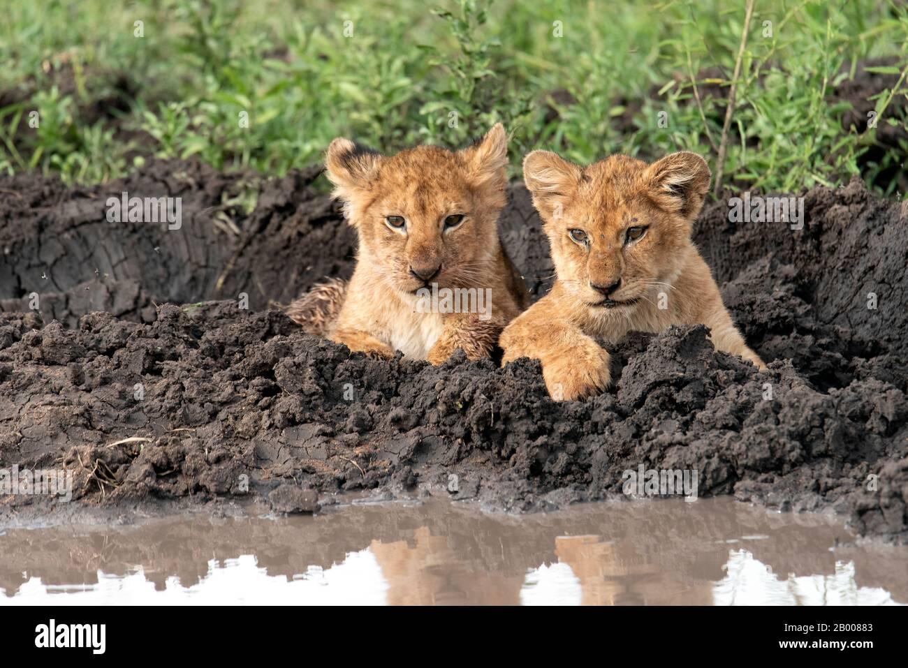 Cachorros de Leones descansando en el barro del Serengeti Foto de stock