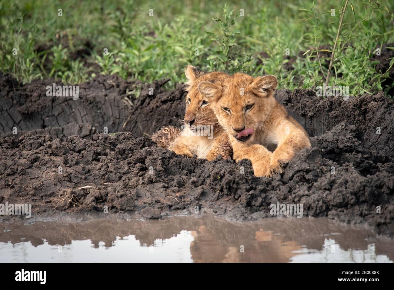 El cachorro de león se pega con su pequeña lengua Foto de stock