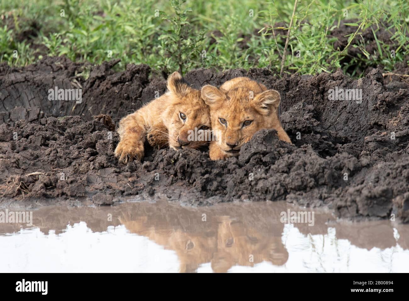 Estos cachorros de león son demasiado lindos Foto de stock