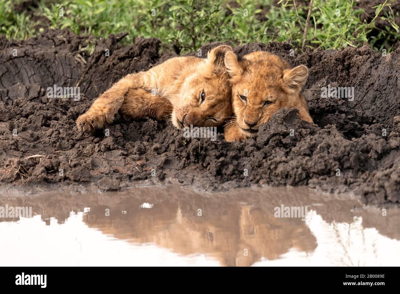 Adorables cachorros de león acurrucada con reflexión en el charco Foto de stock