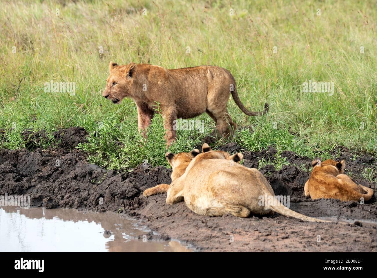 La madre y el bebé Leones vienen para un lavado en el Parque Nacional Serengeti Foto de stock