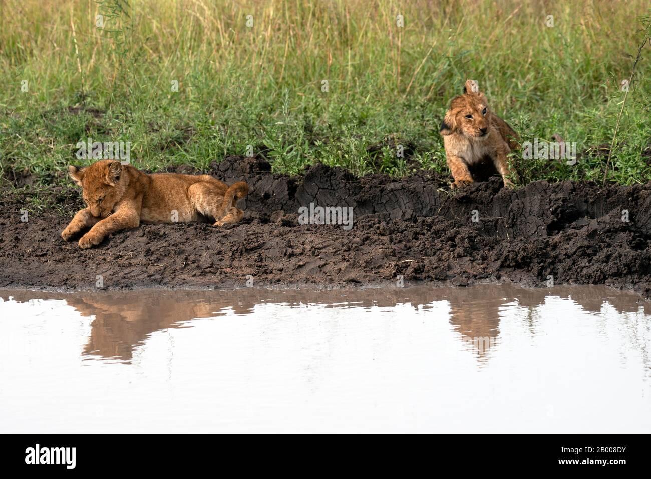Cachorros de león que bajan para un lavado en el charco Foto de stock