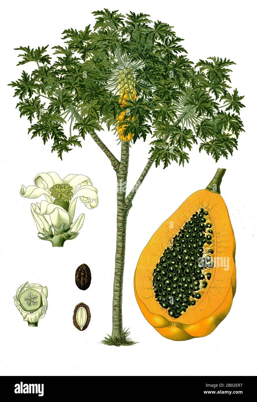 La papaya (de Carib via Spanish), papaw, o pawpaw es el fruto de la planta Carica papaya, la única especie en el género Carica de la familia de plantas Caricaceae. Es nativa de los trópicos de las Américas, quizás del sur de México y de la vecina América Central. Fue cultivada por primera vez en México varios siglos antes de la aparición de las civilizaciones clásicas mesoamericanas. La papaya es una planta grande, parecida a un árbol, con un solo tallo que crece de 5 a 10 m (16 a 33 pies) de altura, con hojas dispuestas en espiral confinadas a la parte superior del tronco. El tronco inferior está visiblemente marcado con una cicatriz Foto de stock