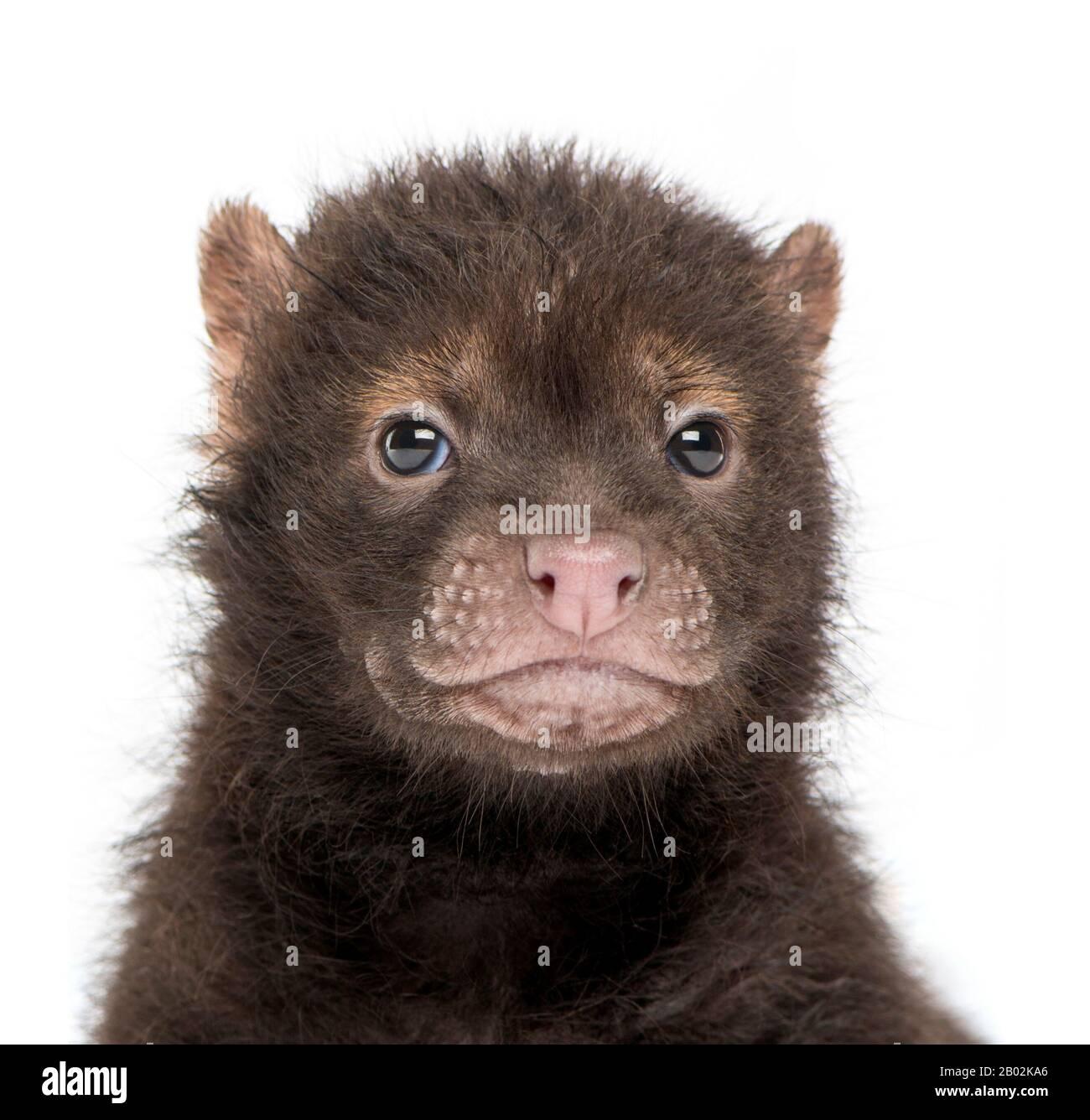 Primer plano de un bebé Bushdog mirando a la cámara, Spothos venaticus, de 2 meses de edad, aislado en blanco Foto de stock