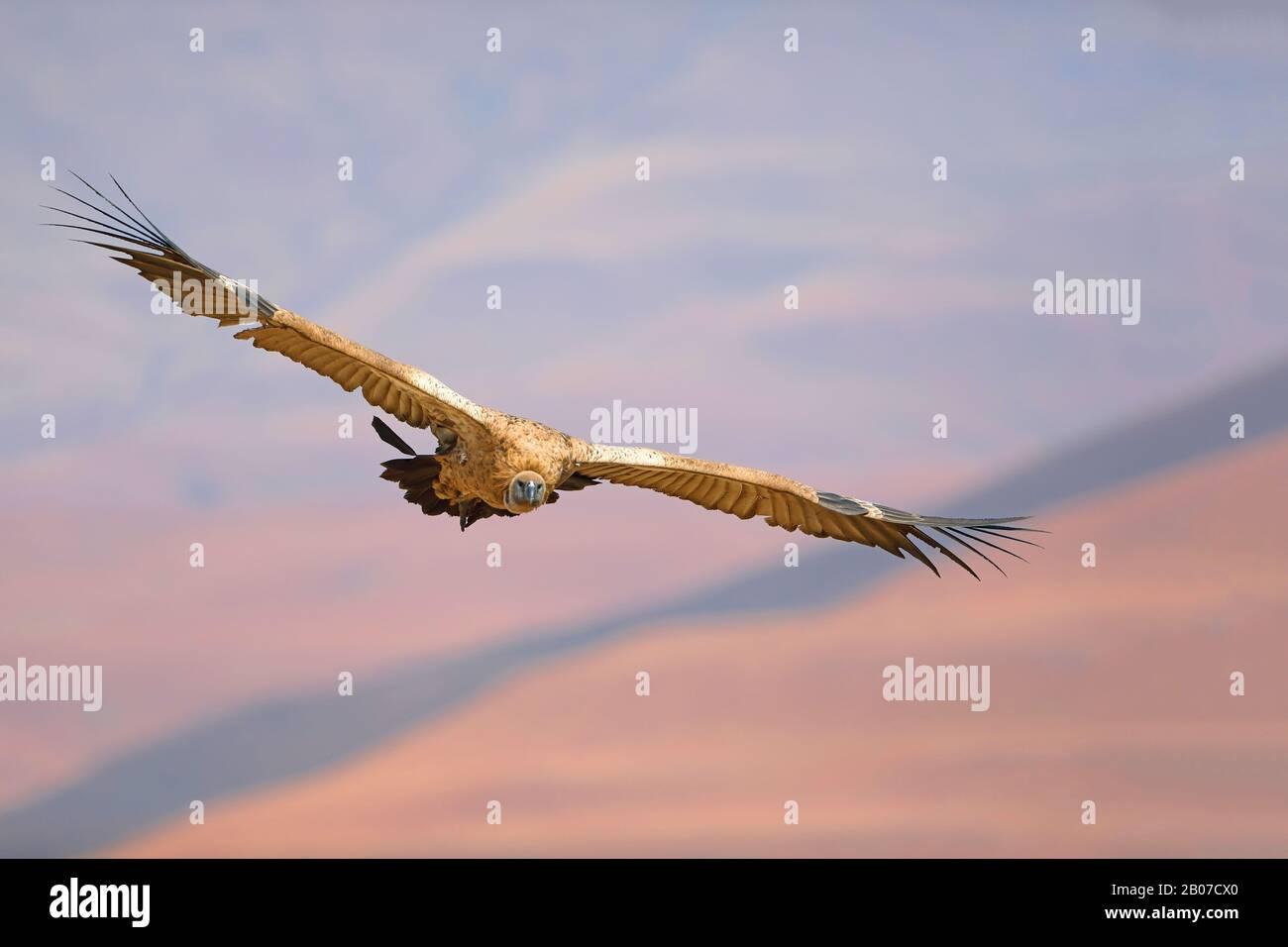 Buitre de cabo (coprotheres gitanos), en vuelo, Sudáfrica, Giants Castle Game Reserve Foto de stock