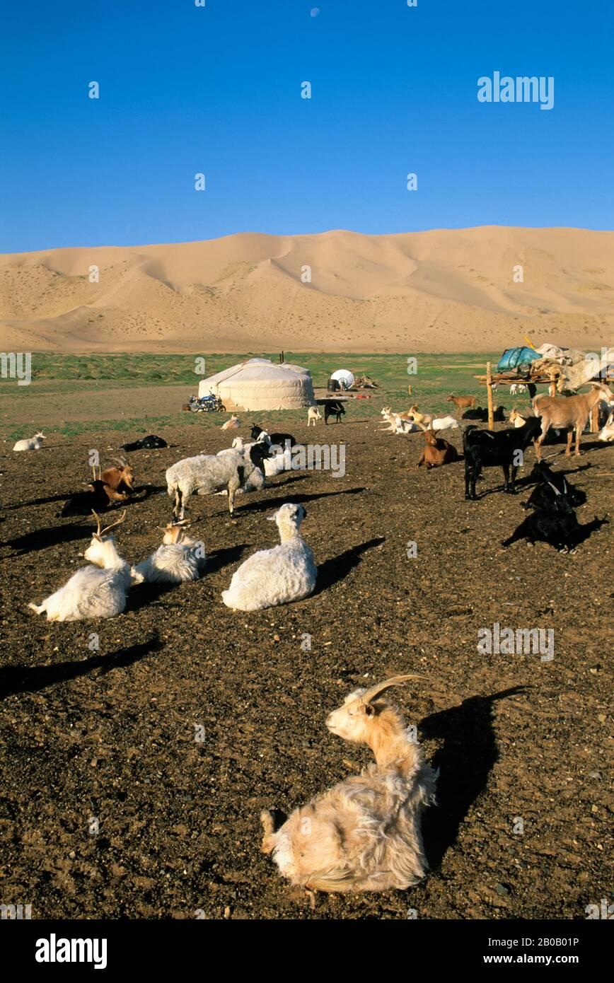 MONGOLIA, CERCA DE DALANZADGAD, DESIERTO DE GOBI EN KHONGORYN ELS (DUNAS DE ARENA), GER (YURT), CABRAS Y OVEJAS Foto de stock