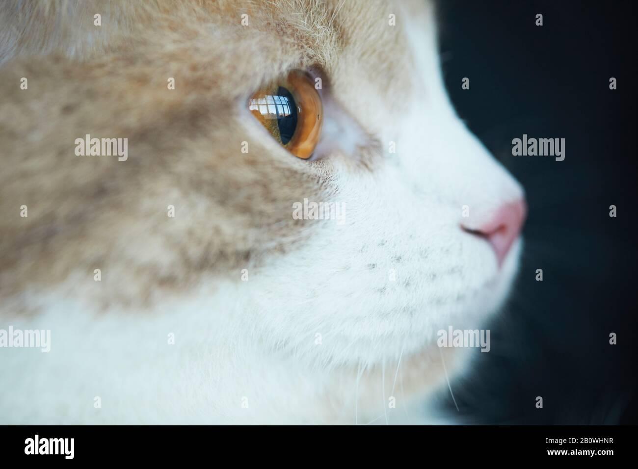 Primer plano de gato doméstico con hermosos ojos marrones mirando hacia fuera Foto de stock