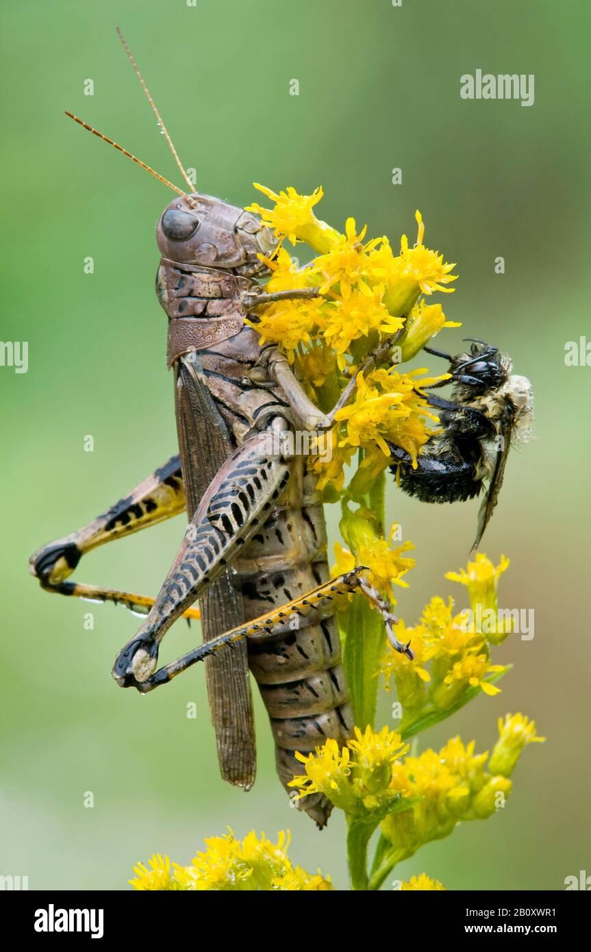 Differential Grasshopper (Melanoplus diferencialis) y American Bumblebee (Bombus pensylvanicus) en Goldenrod (Solidago) E USA, por Skip Moody/Dembi Foto de stock