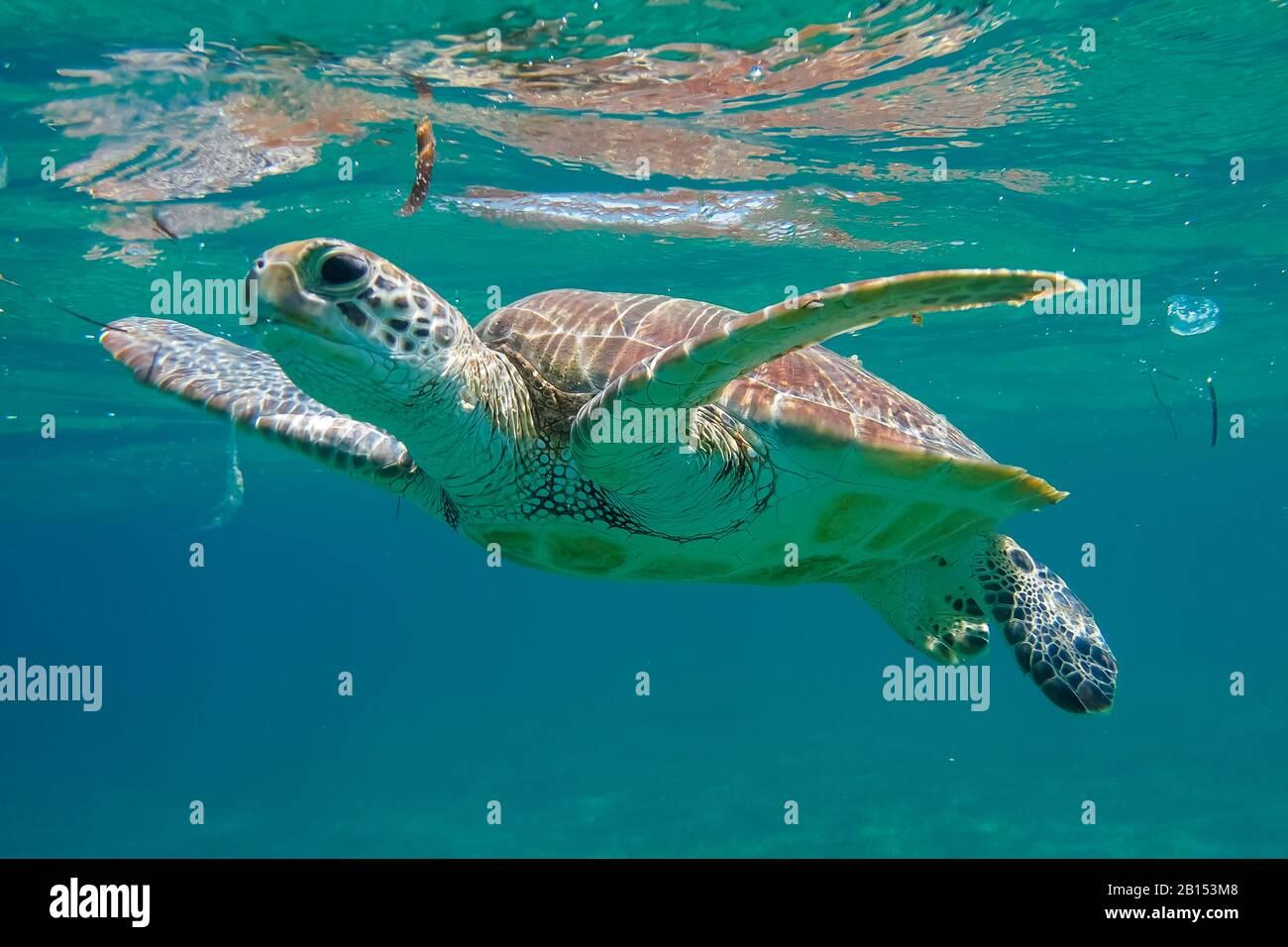 Tortuga verde, tortuga de roca, tortuga de carne (Chelonia mydas), nadar en la bahía de Shaab Abu Dabab, Egipto, Mar Rojo Foto de stock