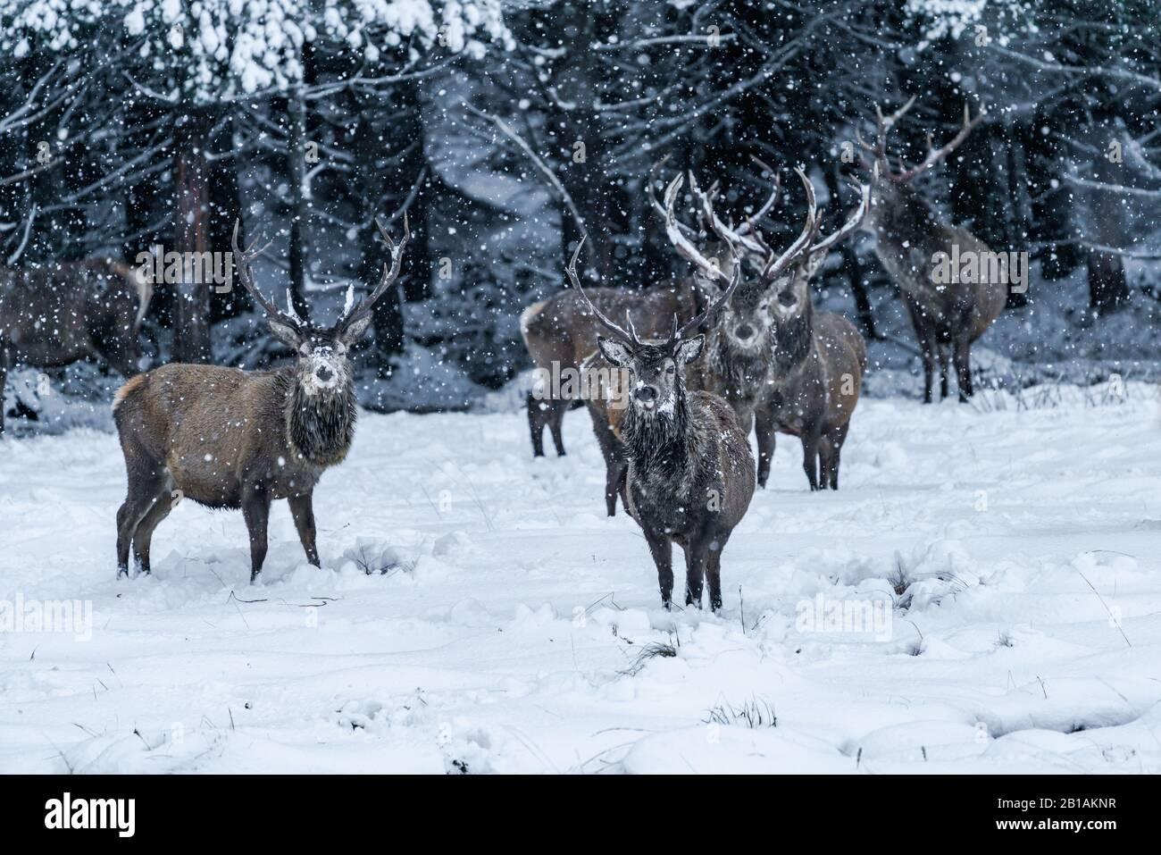 Ciervo escocés rojo (Cervus elaphus) en invierno ventisca de nieve en Escocia - enfoque selectivo Foto de stock