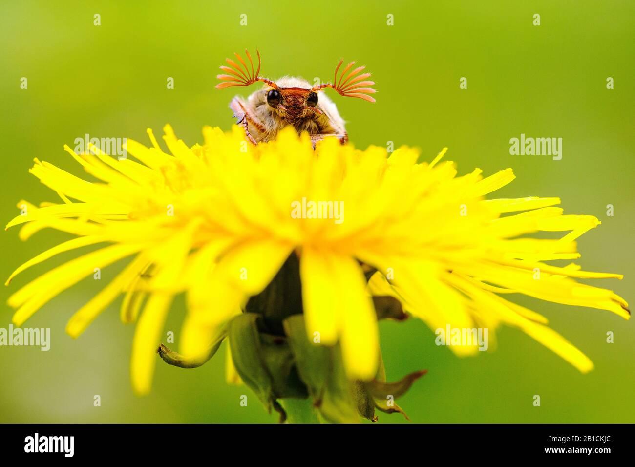 Cockchafer común, Maybug, Maybeetle (Melolontha melolontha), sentado en diente de león, países Bajos, Frisia, Delleboersterheide Foto de stock
