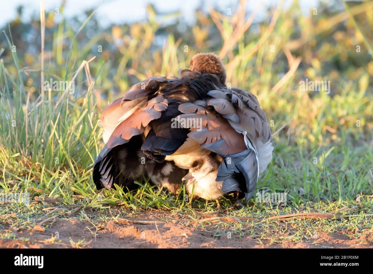 La familia del ganso egipcio (Alopochen aegyptiaca), el chick escondido bajo la madre, el Parque Nacional Kruger, Sudáfrica, Foto de stock
