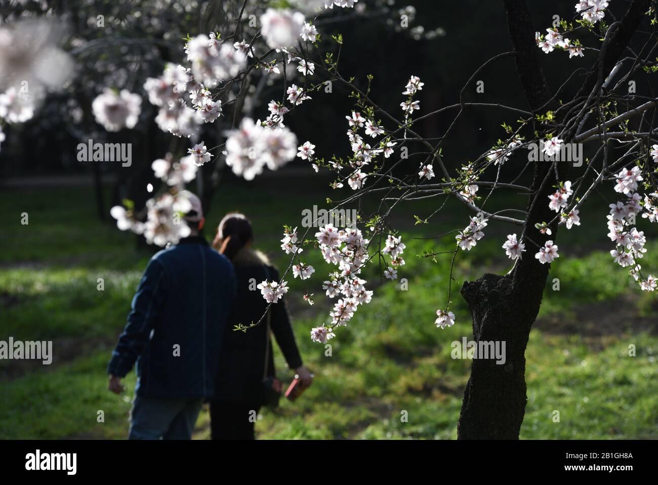 Madrid, España. 25 de febrero de 2020. Una pareja en el parque 'Quinta de los Molinos' de Madrid. Los almendros florecen debido a las altas temperaturas de los últimos días. Crédito: Jorge Sanz/Sopa Images/Zuma Wire/Alamy Live News Foto de stock