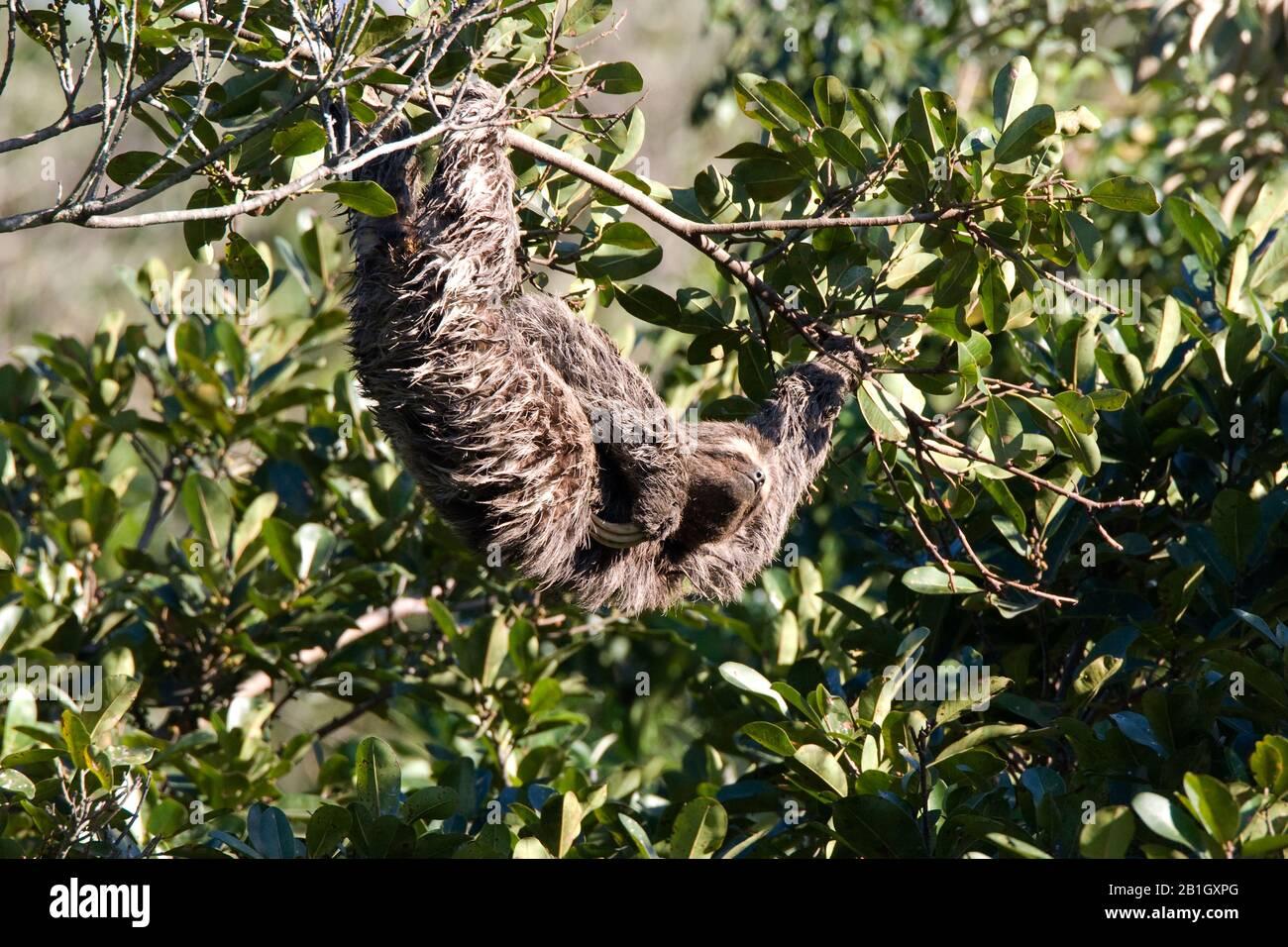 Perezoso de garganta marrón (Bradypus variegatus), colgando la cabeza en una rama, Brasil Foto de stock