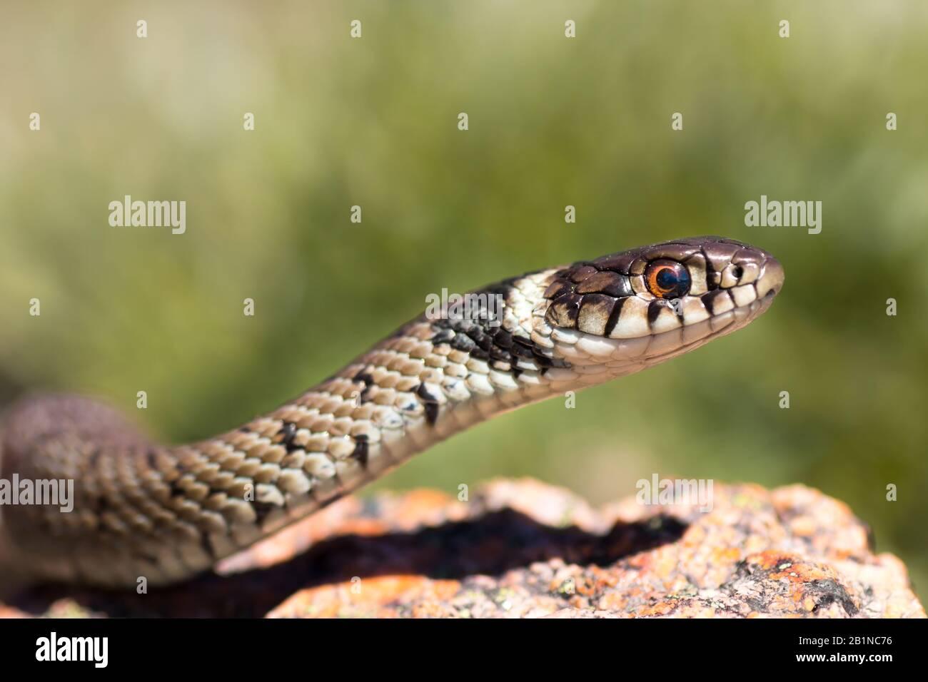 Una serpiente de hierba juvenil (Natrix natrix), también conocida como serpiente de agua, con el collar característico. Este ejemplar fue fotografiado en Oporto, Portugal. Foto de stock