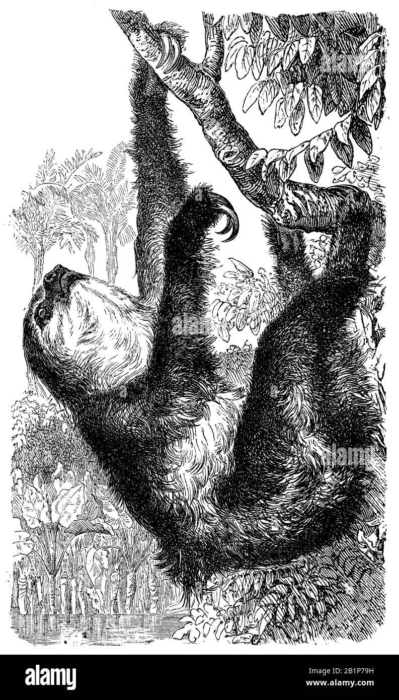 El perezoso de dos dedos de Linneo (Choloepus didactylus), el perezoso de dos dedos del sur, unau, o el perezoso de dos dedos de Linne, Choloepus didactylus, anónimo (libro de biología, 1889) Foto de stock