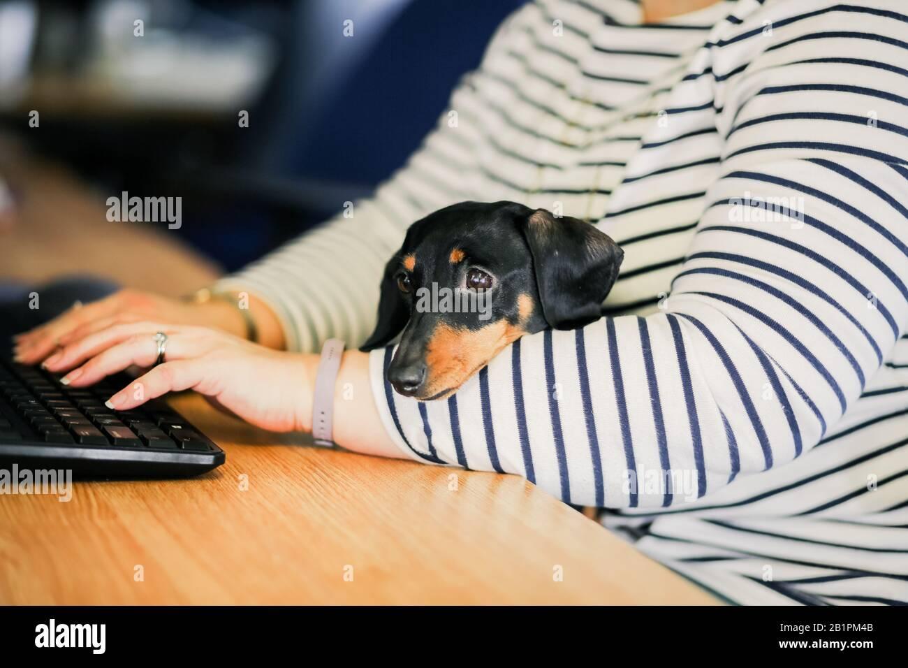 Miniatura Dachshund en la oficina con el propietario Foto de stock