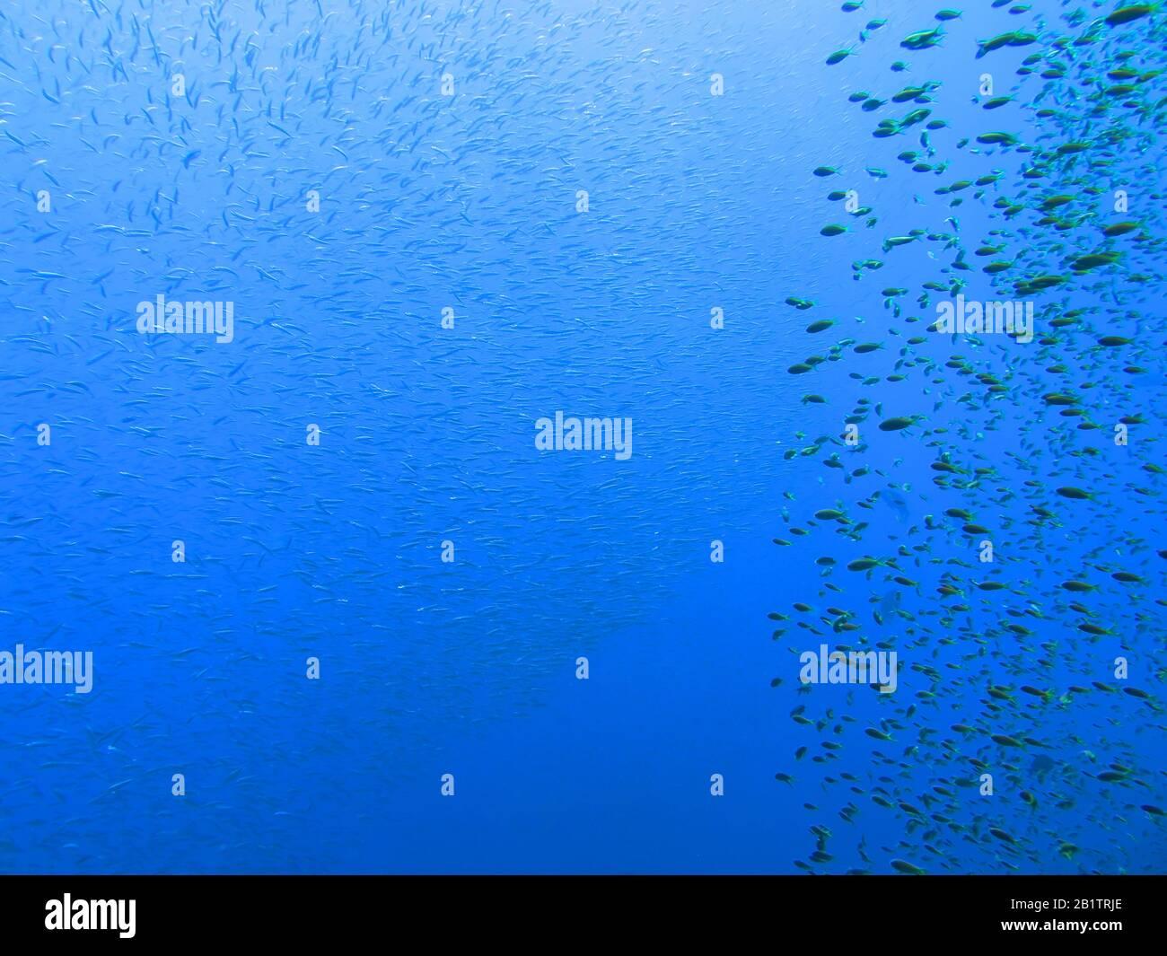Fuesilierfische St. Johns, Riff Rotes Meer, Aegypten Foto de stock