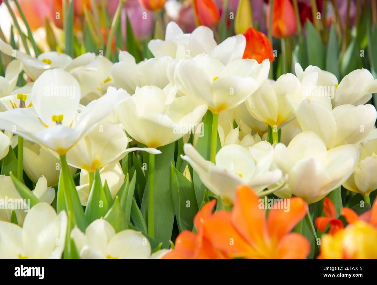 Delicados tulipanes blancos sobre un fondo borroso. Símbolo de primavera, amor, ternura y felicidad. Foto de stock