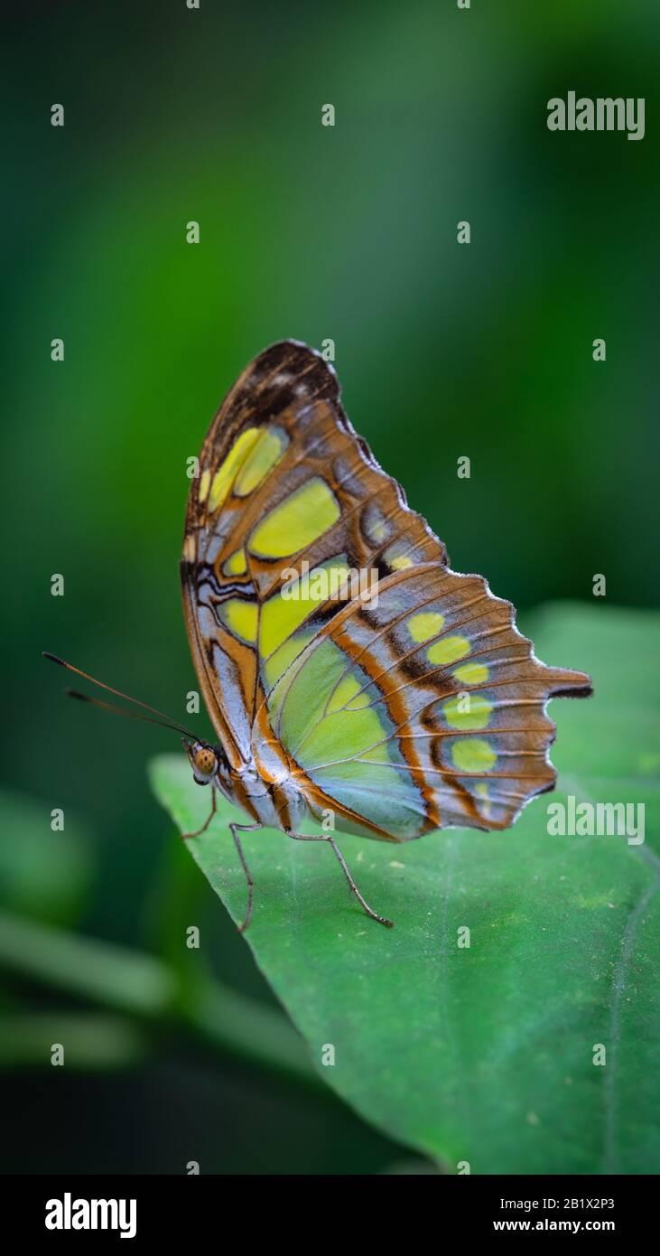 La malaquita (Siproeta stelenes) es una mariposa neotropical con patas de pincel (familia Nymphalidae). Una de las especies de mariposas más familiares en su área de distribución Foto de stock