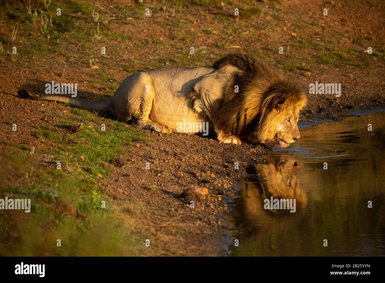 León macho beber, Panthera leo, Gondwana Game Reserve, Sudáfrica Foto de stock
