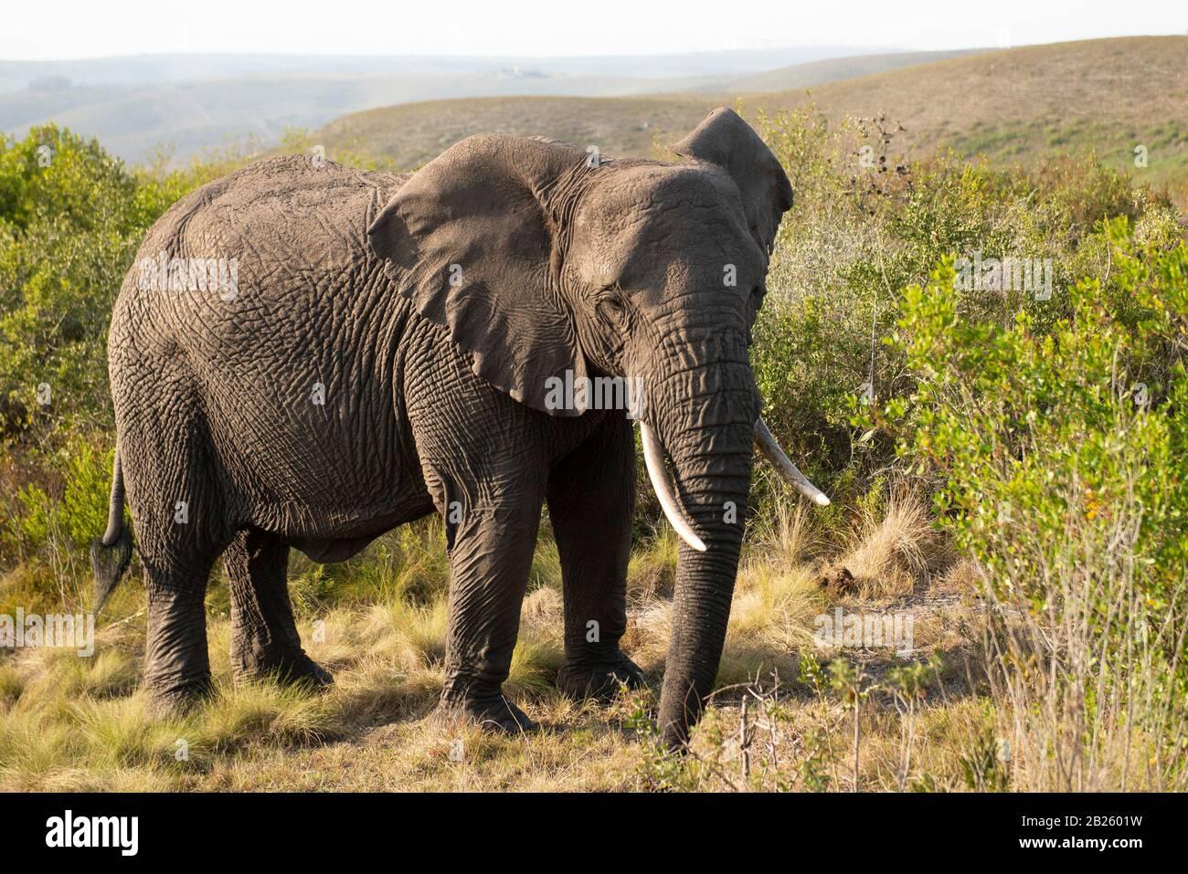 El elefante africano, Loxodonta africana africana, Gondwana Game Reserve, Sudáfrica Foto de stock
