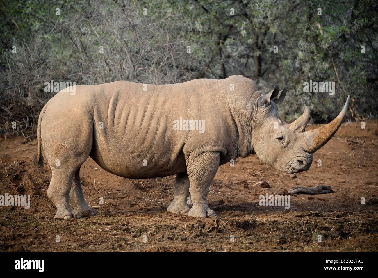 Rinoceronte blanco (Ceratotherium simum, Sanbona Wildlife Reserve, Sudáfrica Foto de stock