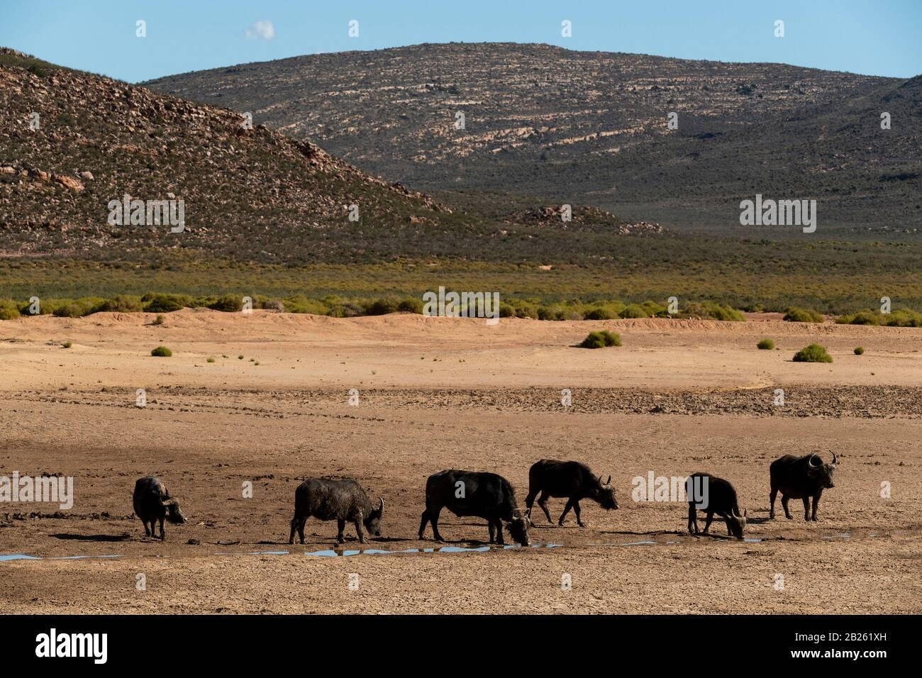 Cape buffalo, Syncerus caffer, Aquila Private Game Reserve, Sudáfrica Foto de stock