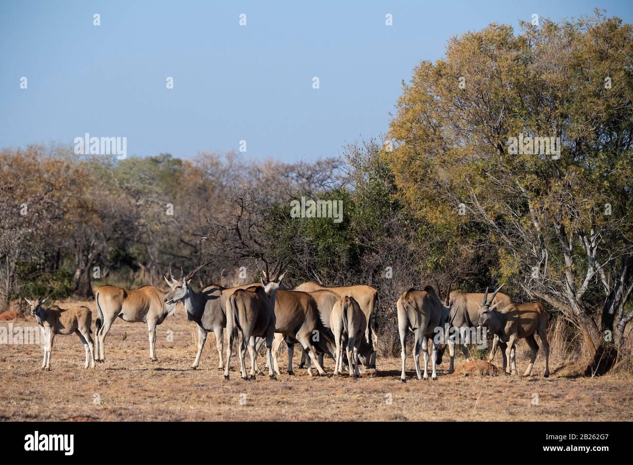 Tierra Común, Tragelaphus Oryx, Reserva De Caza Mabula, Sudáfrica Foto de stock
