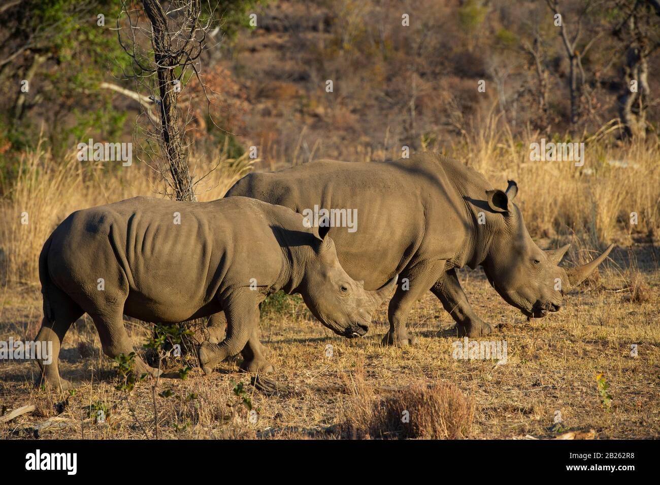 Rinoceronte blanco con ternero, Ceratotherium simum, Lapalala Wilderness, Sudáfrica Foto de stock