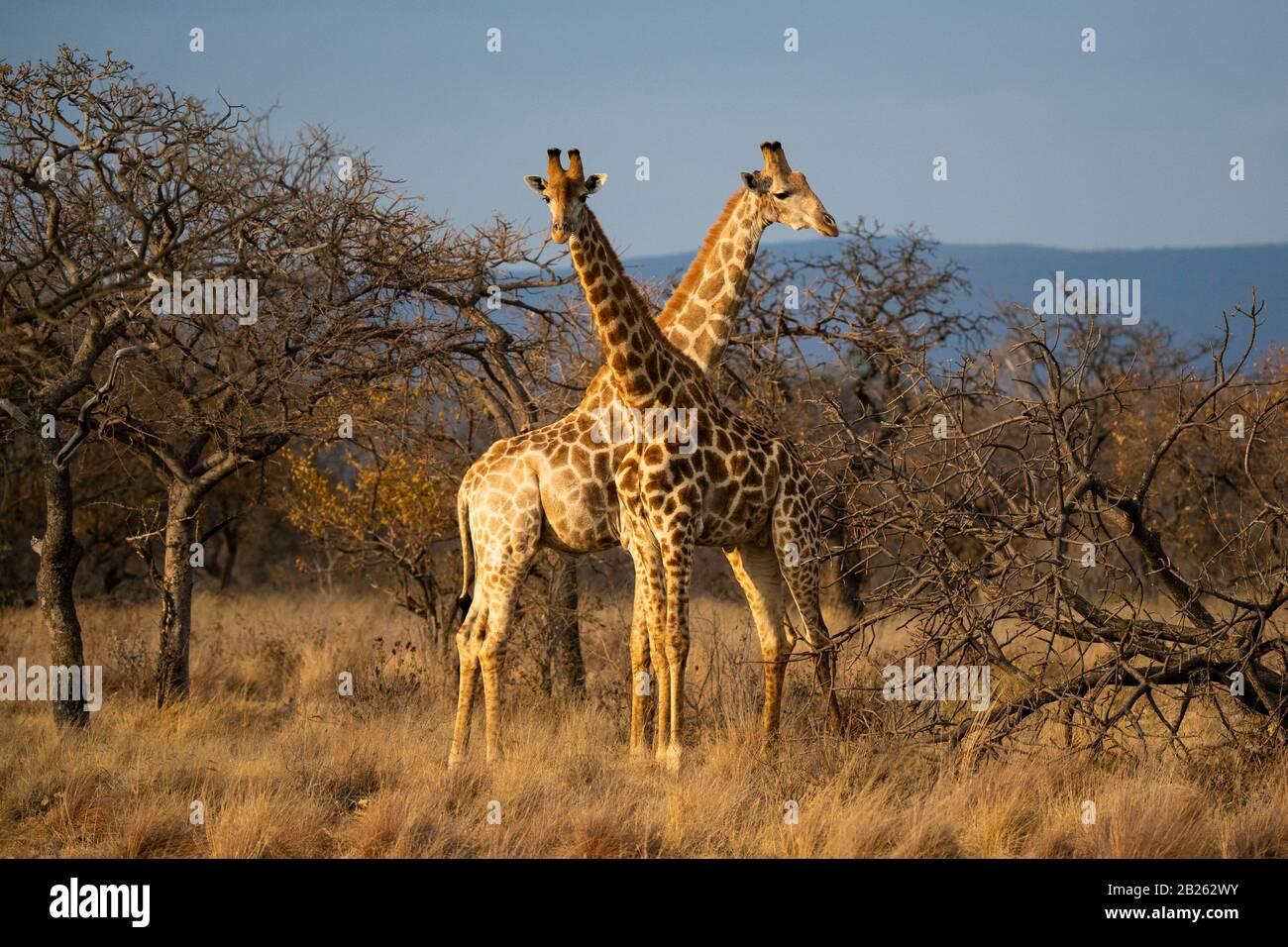 Jirafa del sur, Giraffa camelopardalis giraffa, Lapalala Wilderness, Sudáfrica Foto de stock
