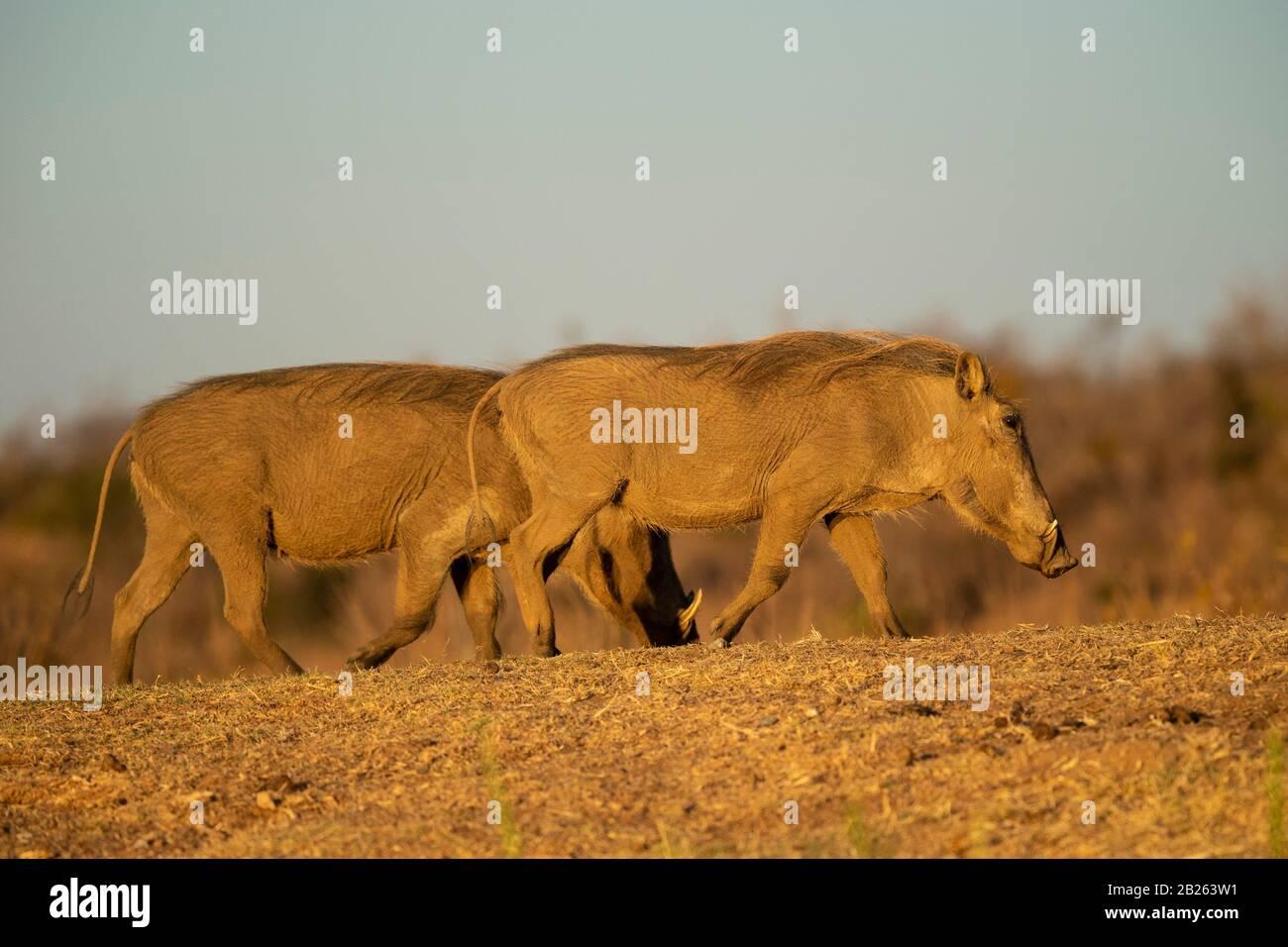 Warthog, Phacochoerus Africanus, Welgevonden Game Reserve, Sudáfrica Foto de stock
