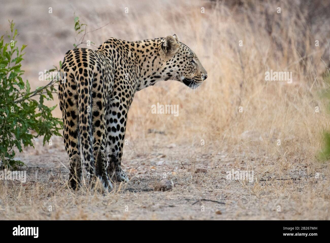 Leopardo, Panthera Pardus, Reserva Natural Privada Klaserie, Sudáfrica Foto de stock