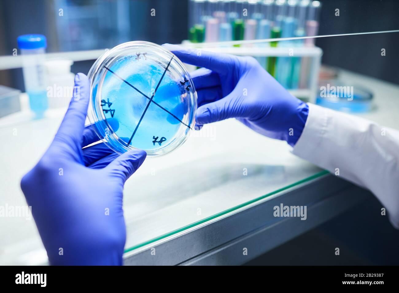 Primer plano de científico con guantes manos sosteniendo un plato de Petri mientras se trabaja en la investigación biológica en laboratorio, espacio de copia Foto de stock