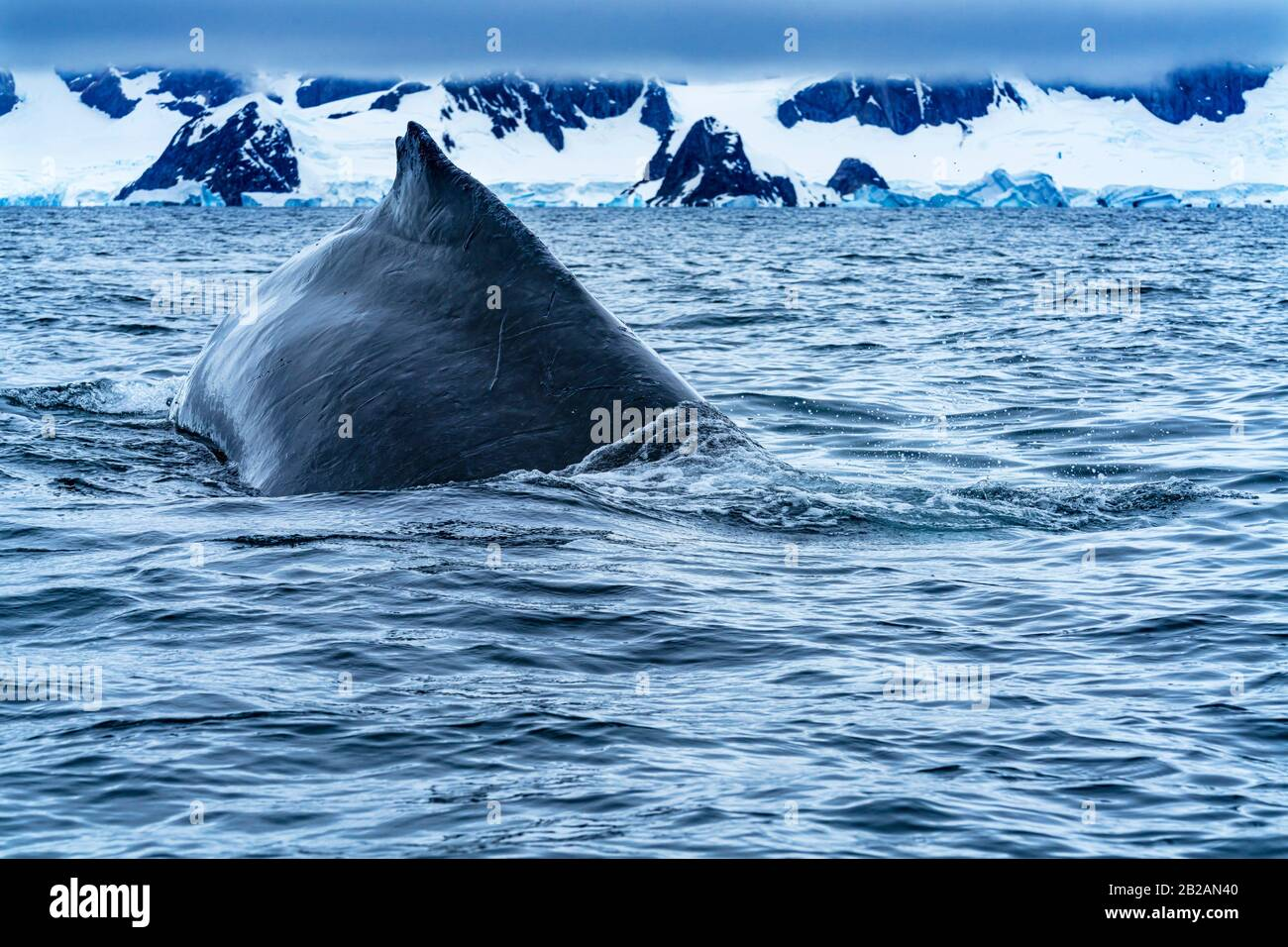 Humback Baleen Whale Chasing Krill Bajo El Barco De Goma Charlotte Bay Antarctic Peninsula Antarctic. Foto de stock