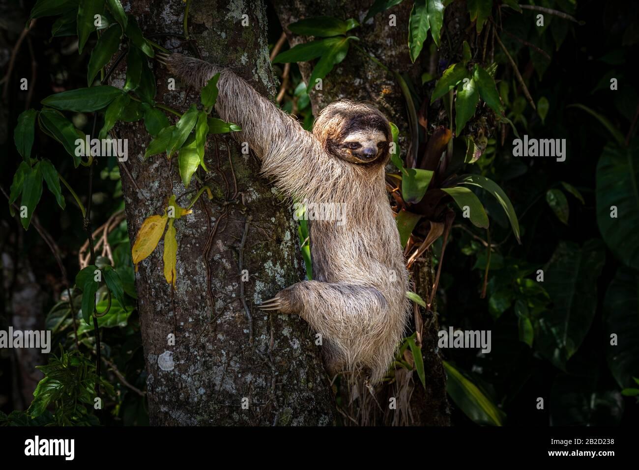 Perezoso de tres dedos de garganta marrón, joven, subiendo un árbol Foto de stock