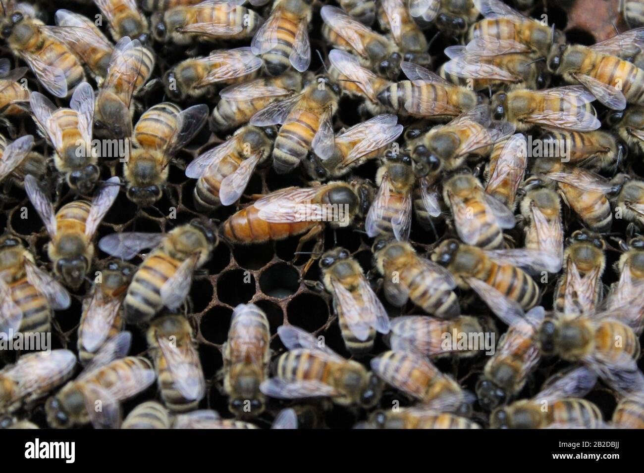 Abejas en el marco de la cría que tienden a los huevos y a la larva Foto de stock