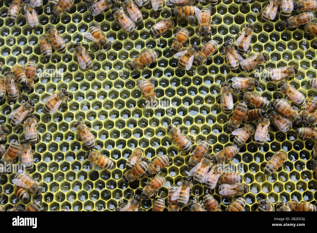 Abejas obreras sobre un marco completo de néctar Foto de stock