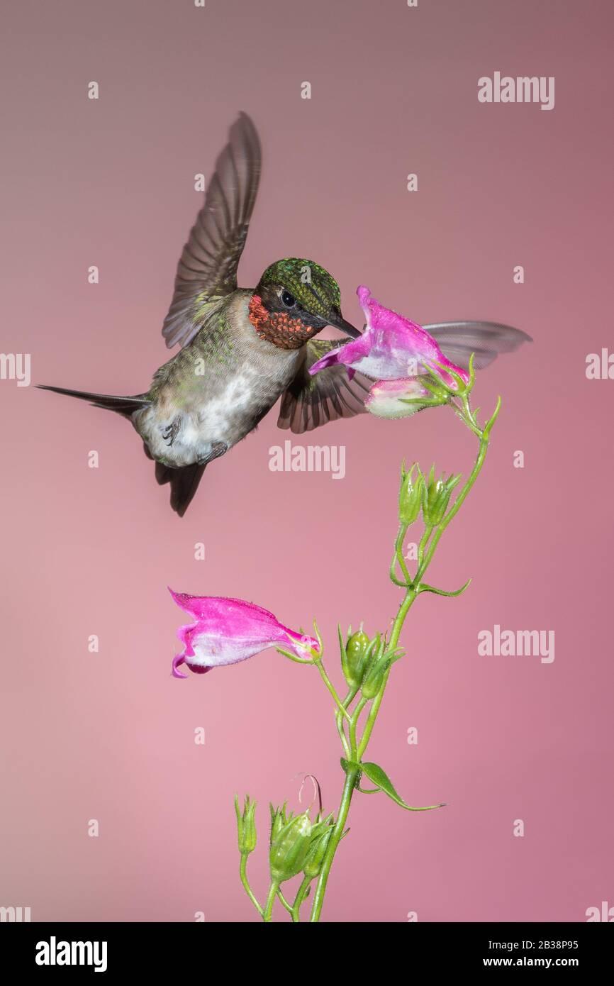 Un Néctar de recolección de colibrí de garganta rubí Foto de stock
