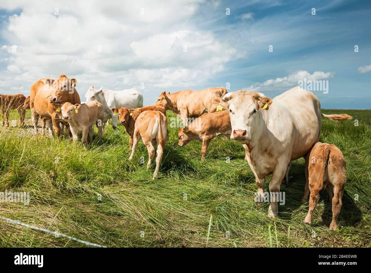 Agricultura, ganadería, rebaño de vacas en pastos, ganadería Charolais, con terneros Foto de stock