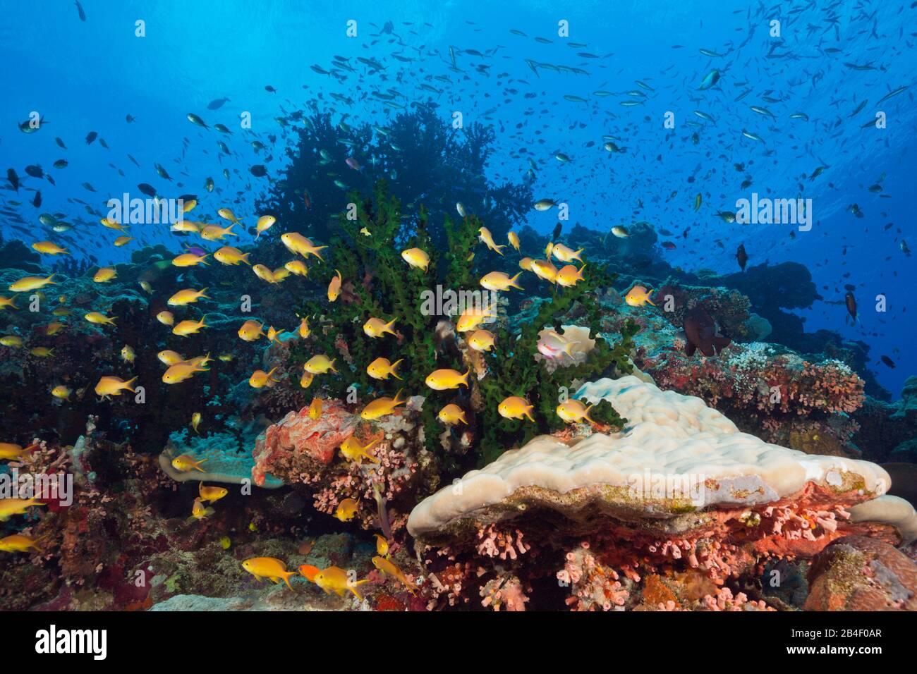 Arrecifes de coral ricos en especies, Tufi Mar, Islas Salomón, Papua Nueva Guinea Foto de stock