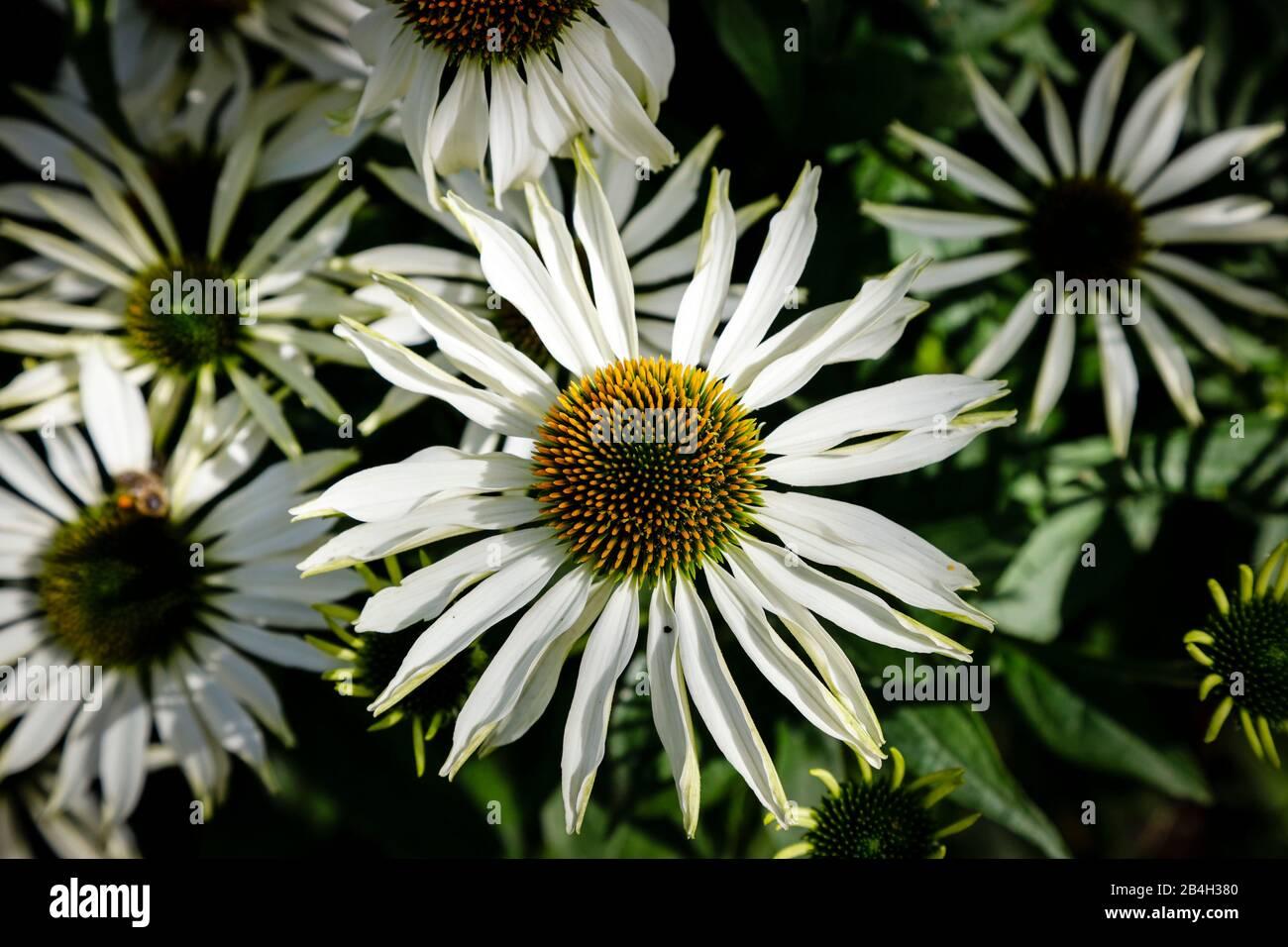 Equinácea, flor de la conebora, primer plano de flores en el jardín Foto de stock