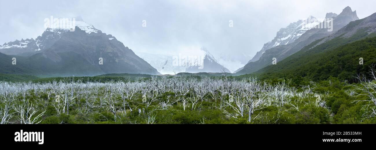 Un nuevo bosque crece lentamente por debajo del viejo bosque muerto por inundaciones, Parque Nacional los Glaciares, Patagonia Argentina Foto de stock